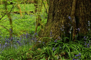 Photograph of bluebells in the Moss Valley by Steve Withington