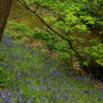 Photograph of bluebells in the Moss Valley by Steve Withingto