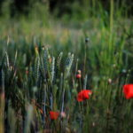 Photograph of poppies in the Moss Valley by Steve Withington