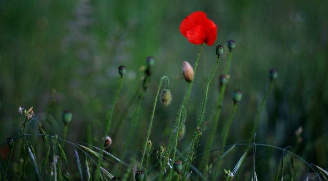Photograph of poppy in the Moss Valley by Steve Withington