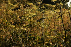 Photo of cow parsley in the Moss Valley by Steve Withington