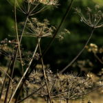 cow parsley, Moss Valley, Derbyshire