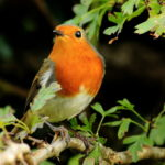 robin, Moss Valley, Derbyshire