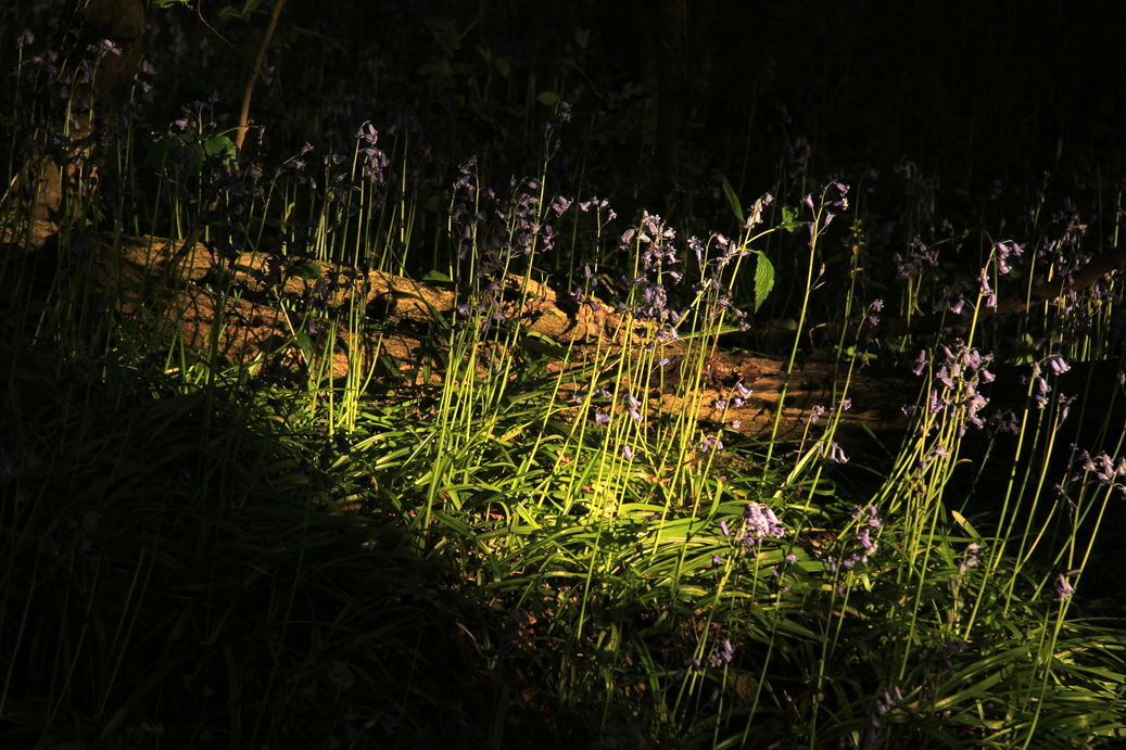 Photo of blue bells in the Moss Valley by Steve Withington