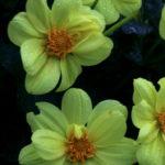 20171011flowers