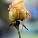 20180122flower01