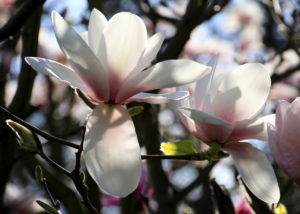 Magnolias, Sheffield Botanical Gardens, Photograph by Steve Withington