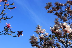 Magnolias, Sheffield Botanical Gardens, Photograph by Steve Withington