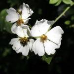 White dog roses by Skelper Pond, Moss Valley