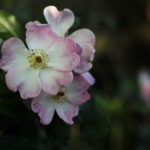 Photo of a dog rose, Sheffield, by Steve Withington
