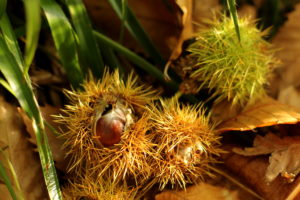 Photograph of Ecclesall Woods by Steve Withington - sweet chestnuts