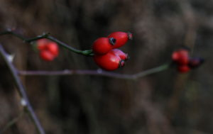Photo of rosehips, Limb Valley by Steve Withington