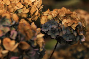 Hydrangea, Whirlowbrook Hall, photo by Steve Withington