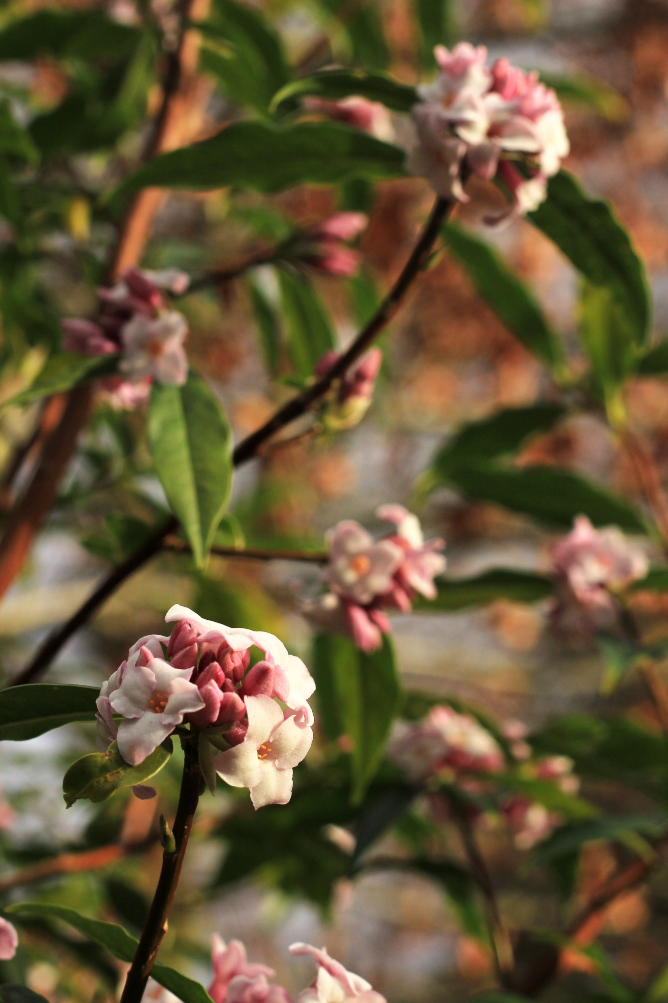Viburnum, Whinfell Quarry Gardens, photo by Steve Withington