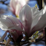 Photograph of Magnolia flower - by Steve Withington