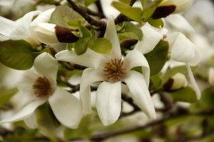 Magnolia Kobus, Sheffield Botanical Gardens - photo by Steve Withington