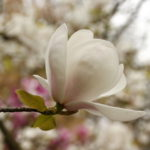 Magnolia, Sheffield Botanical Gardens - photo by Steve Withington