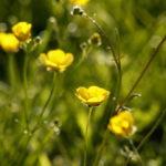 buttercups02