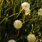 dandelions01
