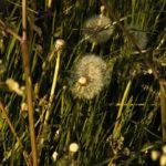 dandelions02