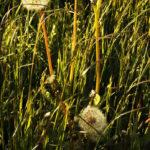 dandelions05