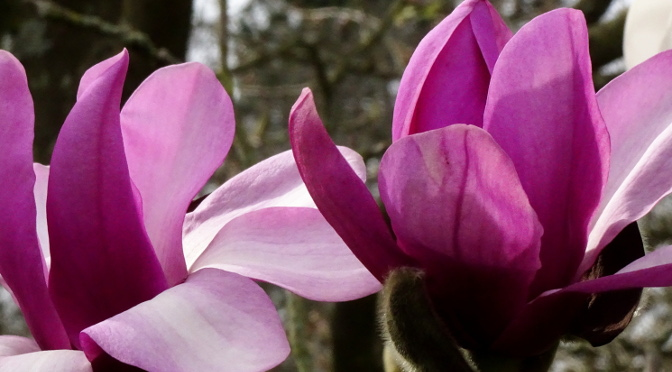 Sheffield Botanical Gardens magnolia Steve Withington