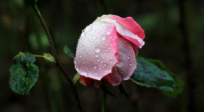 roses-fi